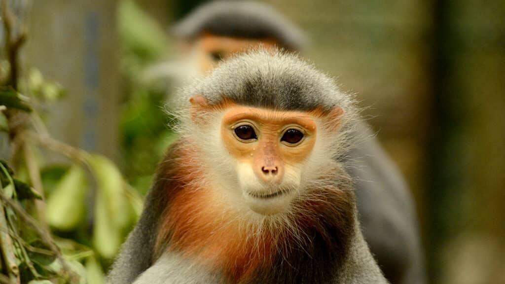 Cuc Phuong - Den Rødskaftet Douc Abe