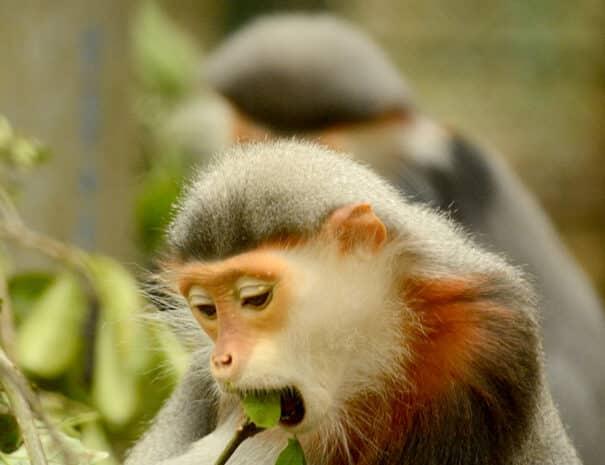 cuc-phuong-roedskaftet-douc-abe-spiser