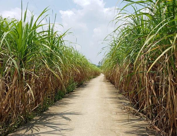 easy-rider-hue-hoi-an-sukkerroer-plantage