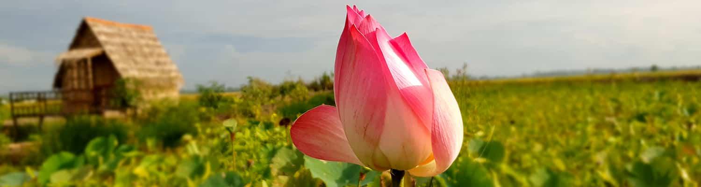 Lotusblomsten er Vietnams nationalblomst. Oplev lotusblomsten i smukke Vietnam.