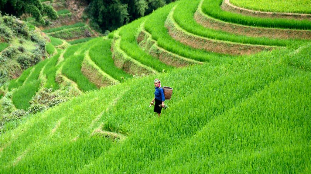 Sapa - Kvinde står midt i rrismarker terrasseris